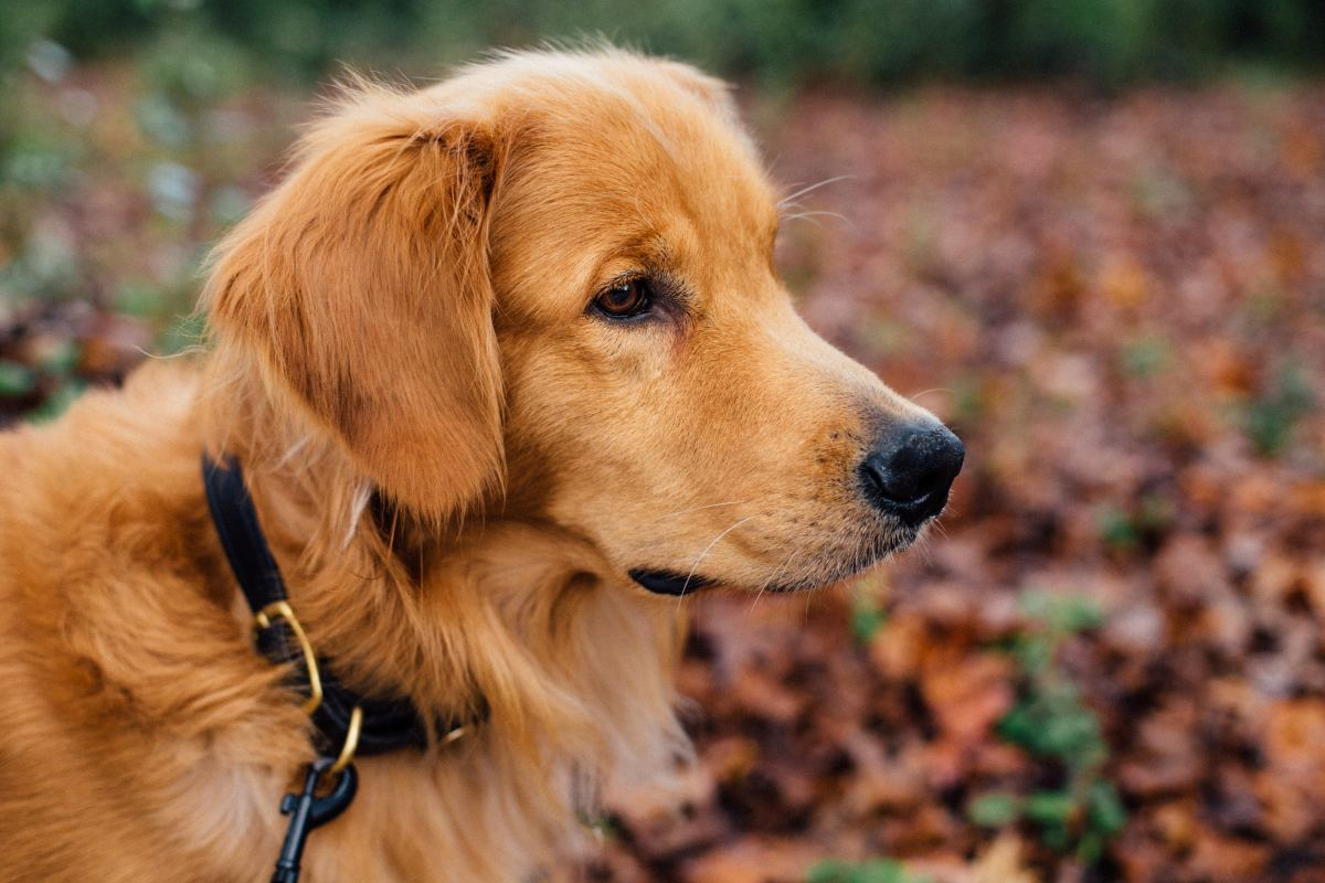 The beautiful Golden Retriever is a very loyal and affectionate dog.