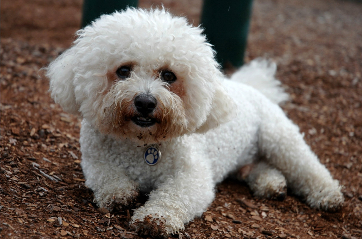 The Bichon Frise is a cuddly and affectionate dog.