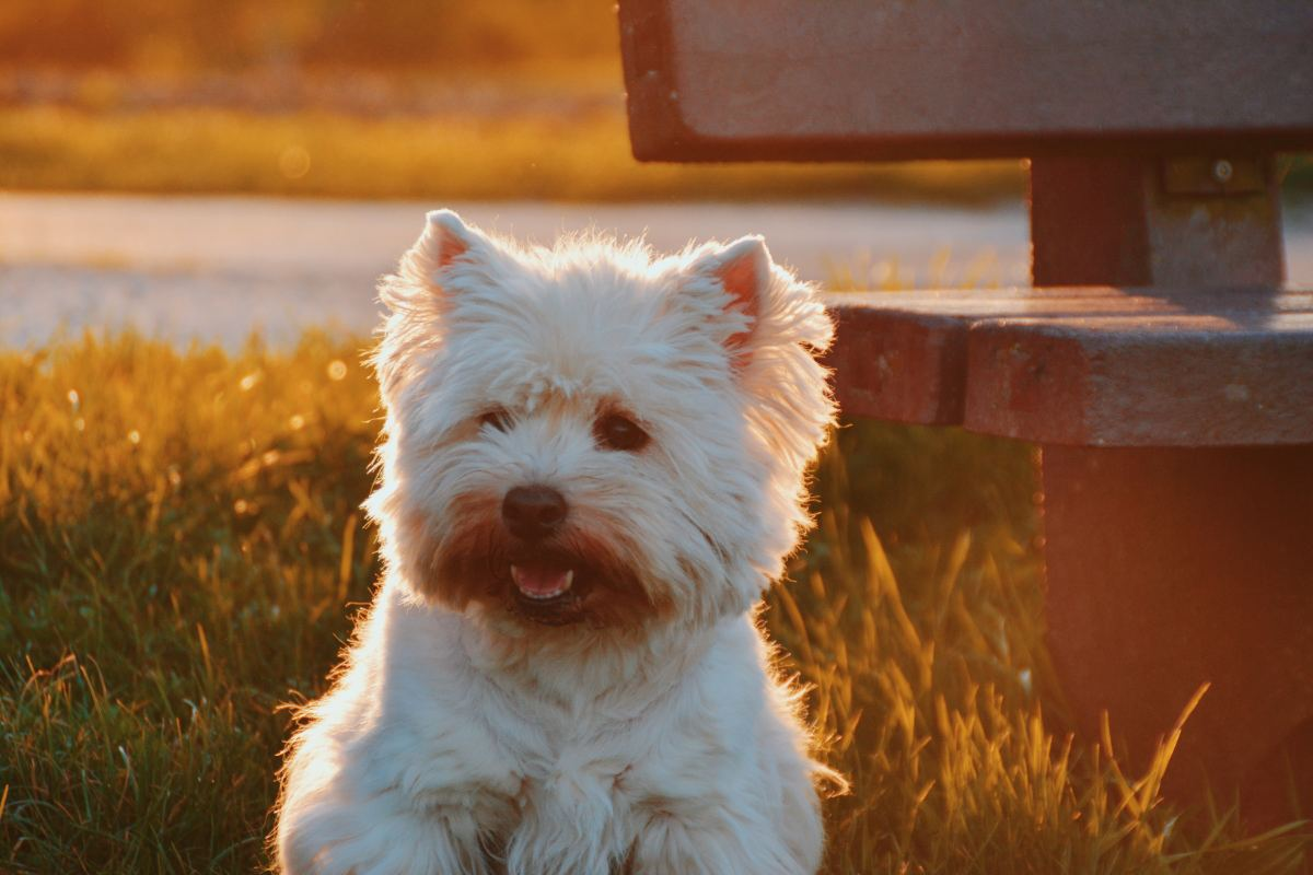 The Maltese is a top choice for those looking for a loyal and affectionate dog.