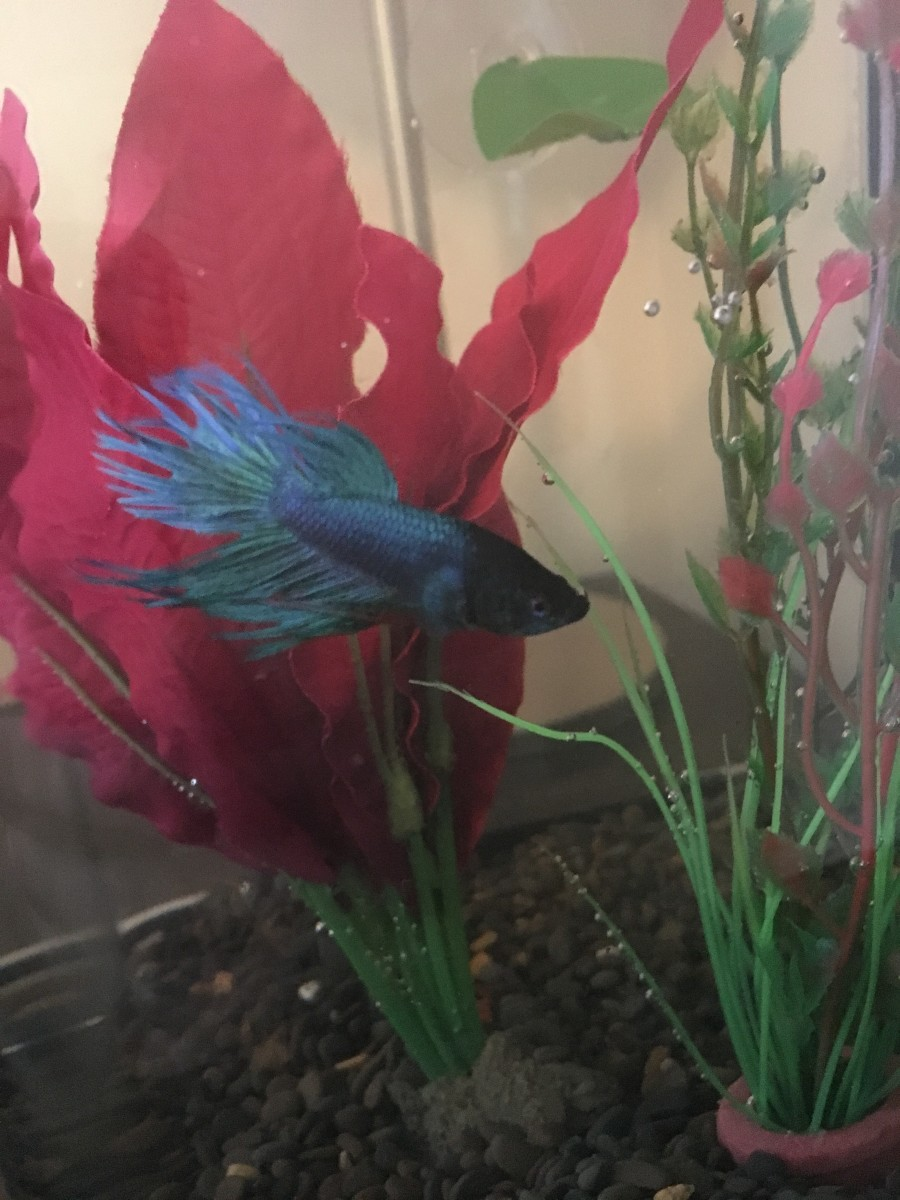 A male crowntail betta fish