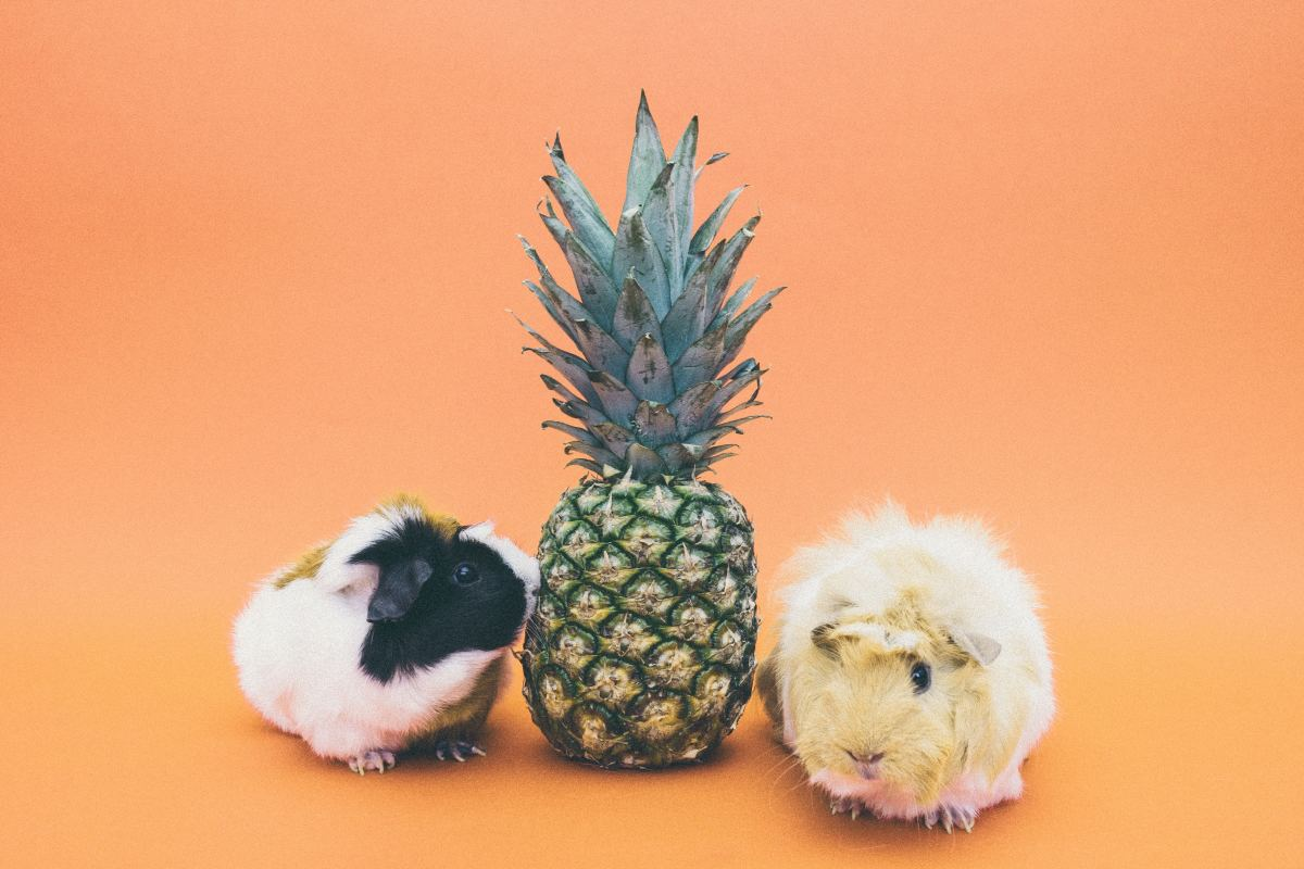 Guinea pigs are fairly low-maintenance as far as pets go.