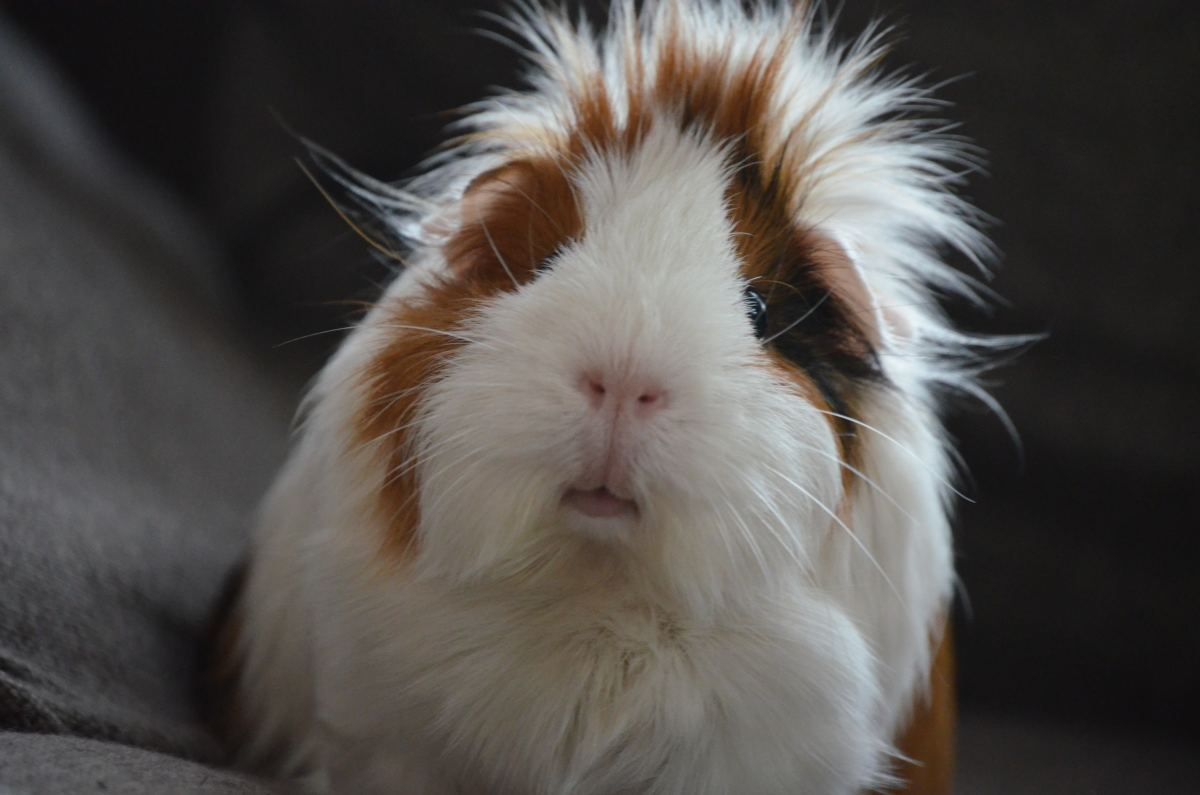 Their social and affectionate nature are good reasons that guinea pigs make such good pets.