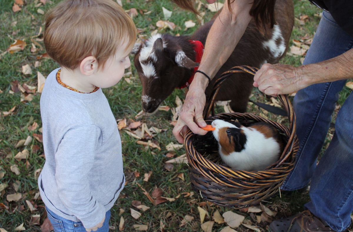 Their friendly disposition and hardy physical characteristics make guinea pigs great with children.