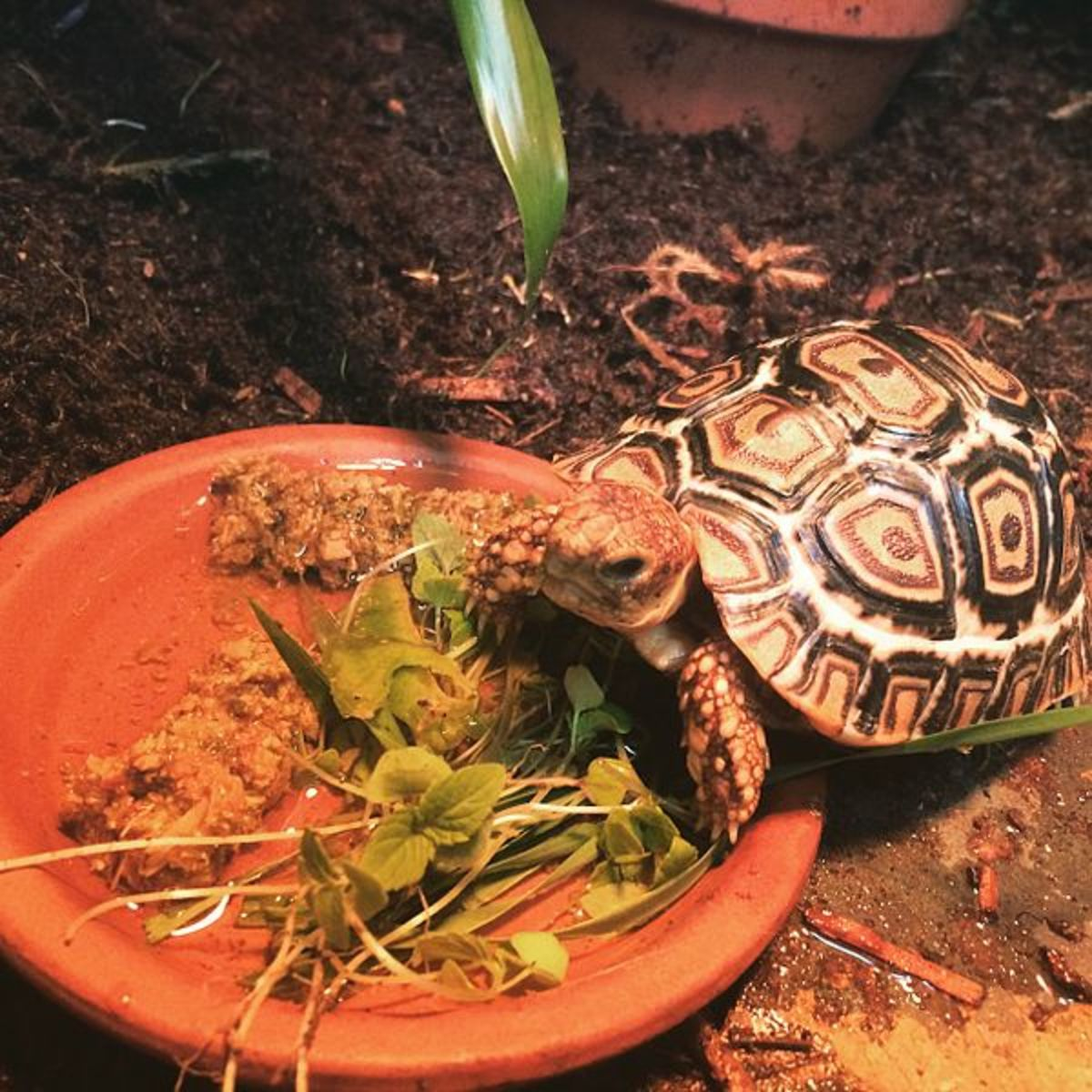 A tortoise needs a natural diet but can also be fed high-quality commercial pellets designed for tortoises.