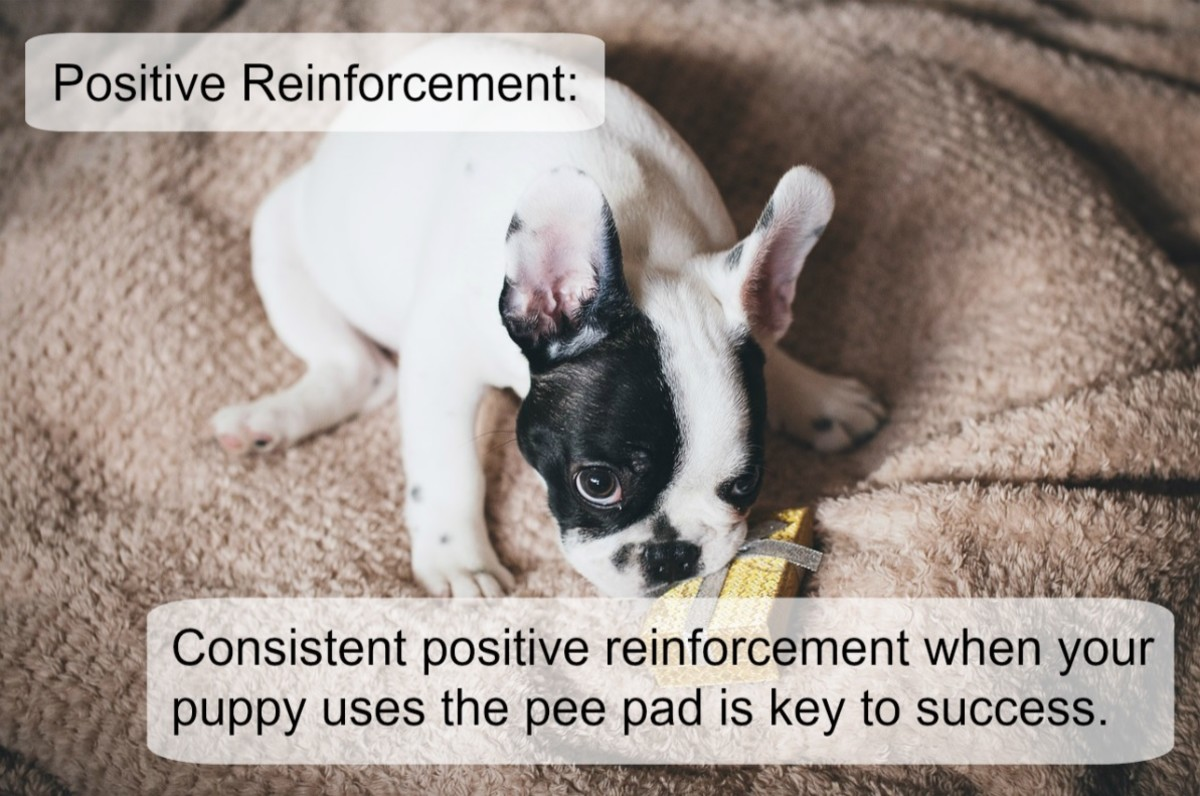 How to potty train a puppy with pee pads 4 easy steps for How to train your dog to pee
