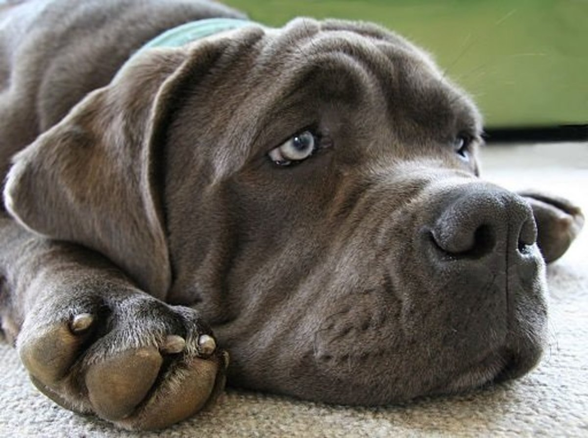Blue Mastiff named Lucy certainly looks blue in this photo.