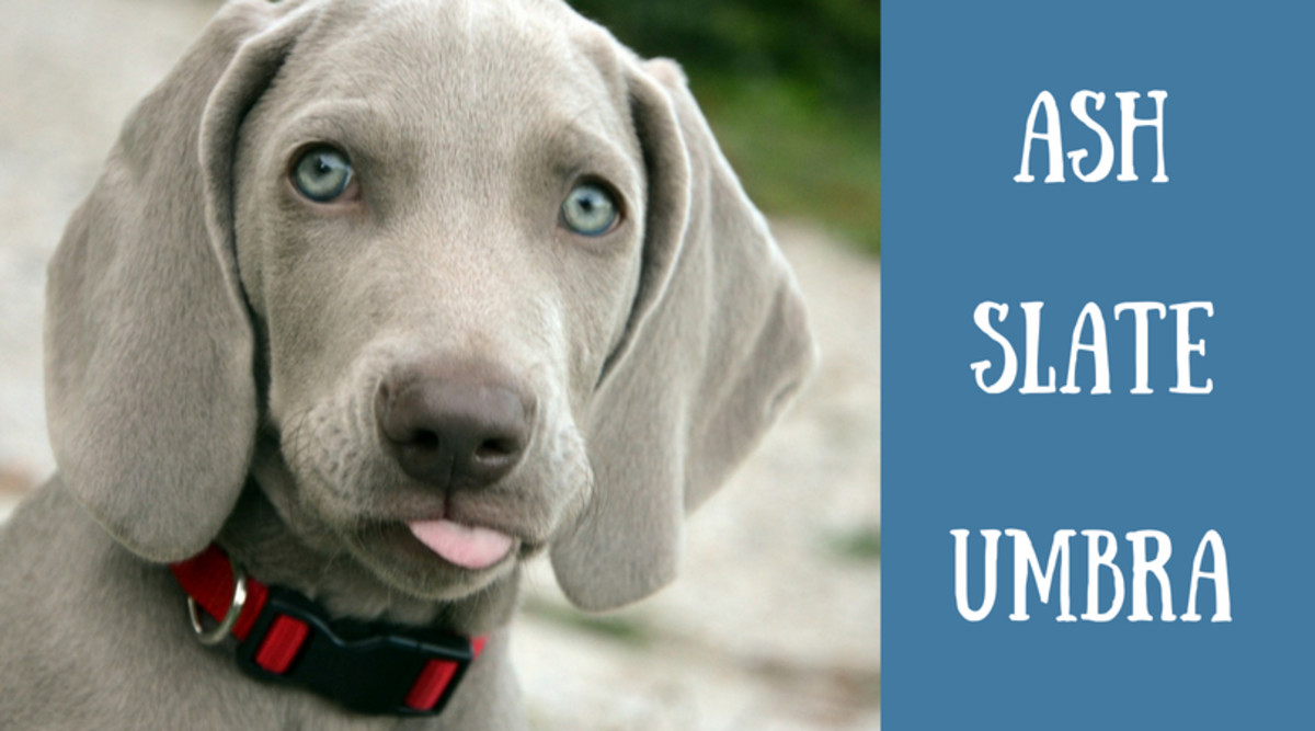 Silver dog with blue eyes (Weimaraner).