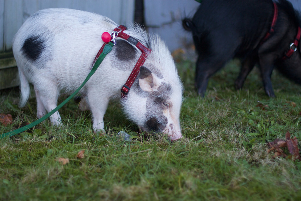 Pot-bellied pigs are rising in popularity so quickly most people know these animals can be kept indoors like dogs and can learn a variety of tricks.