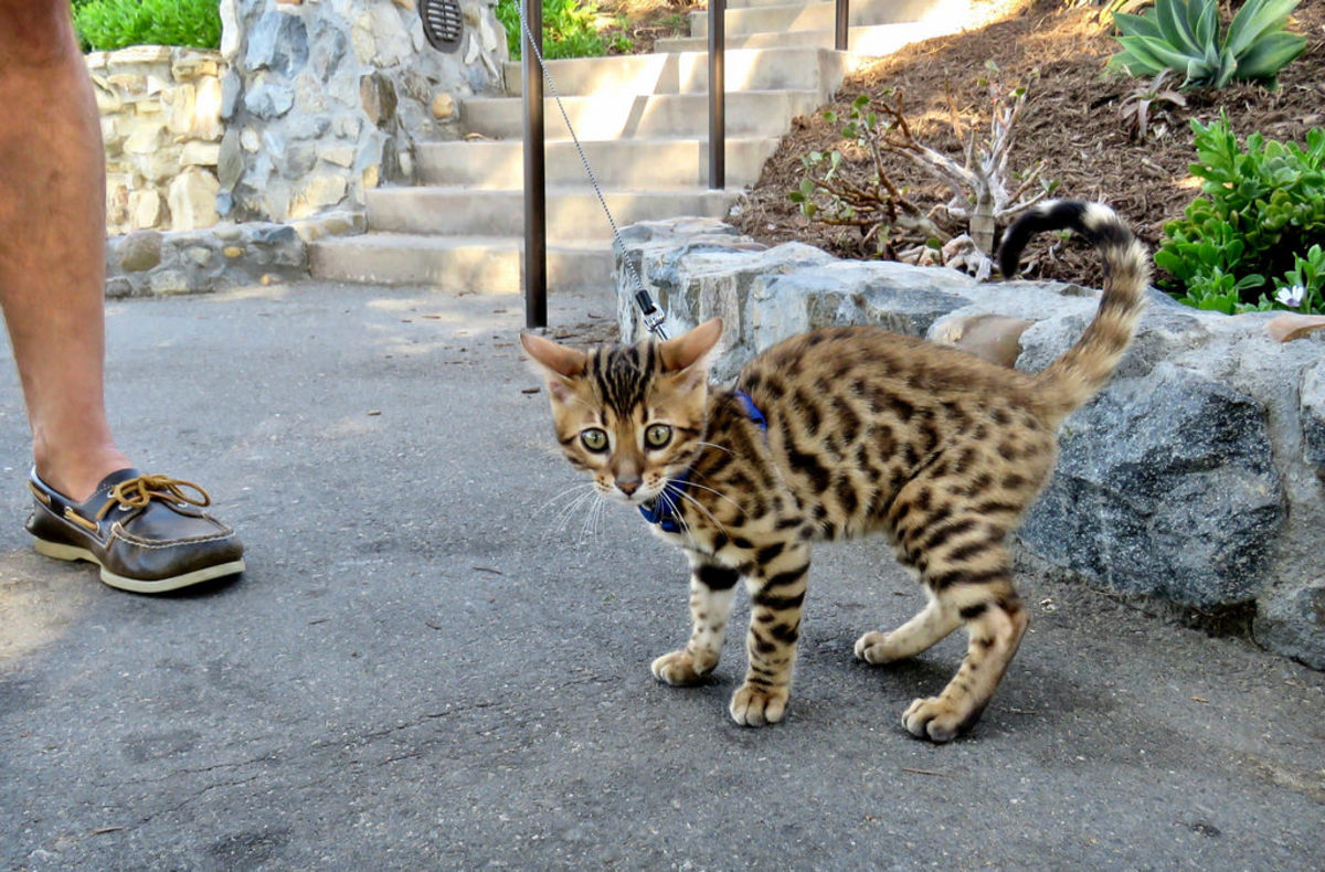 "While Bengal cats aren't really ""exotic"" since they are fully domesticated cats, they are often considered to be ""partially wild"" animals because this breed was created using Asian leopard cats."