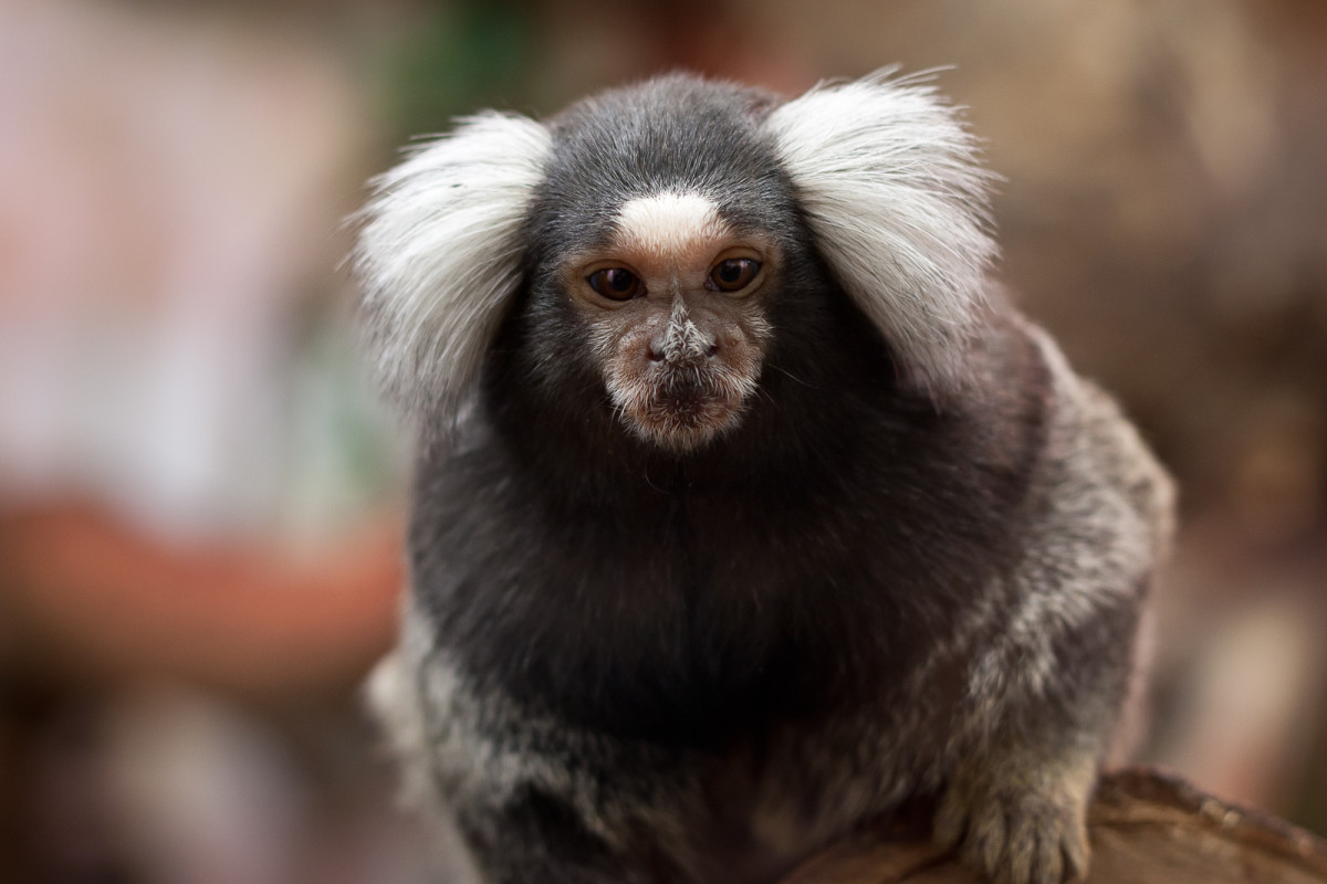 """These little primates, the so-called """"finger monkeys,"""" are popular animals for first-time monkey owners."""