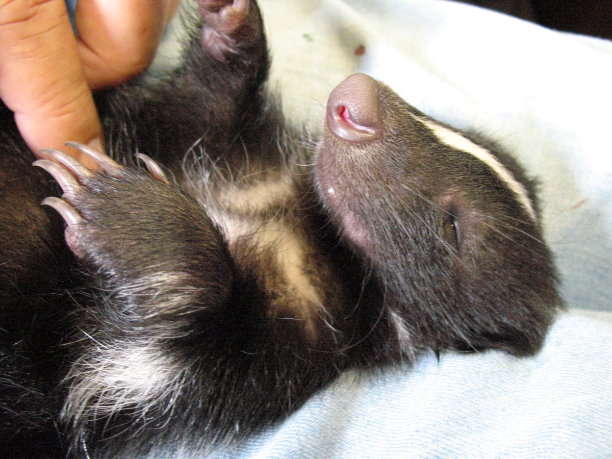 """Skunks are popular for exotic mammals, and they are said to be one of the """"easier"""" exotic animals to care for."""