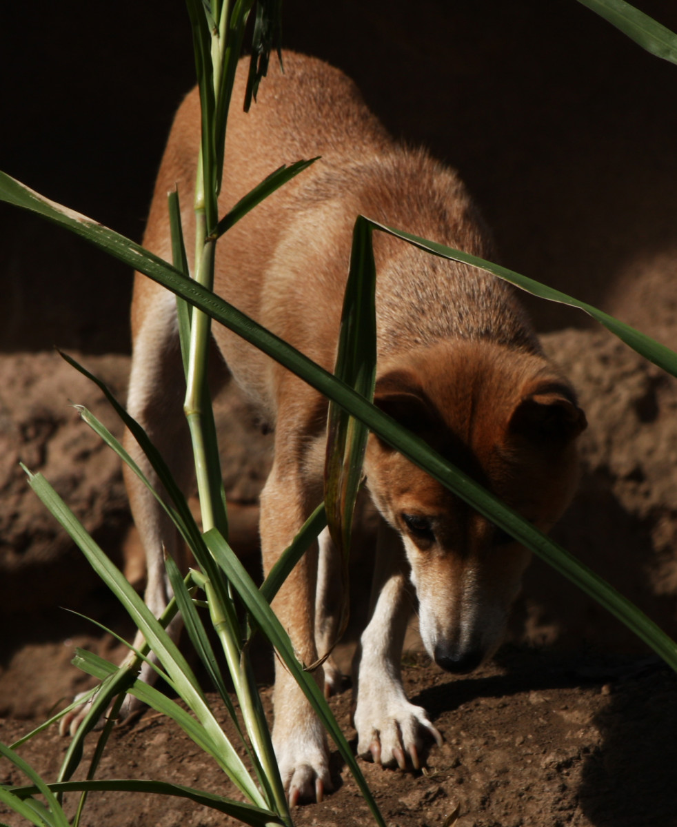 Many see New Guinea Singing Dogs as just another breed of canine that has descended from feral dogs, but others consider them to be a 'wild dog' like a wolf or jackal.