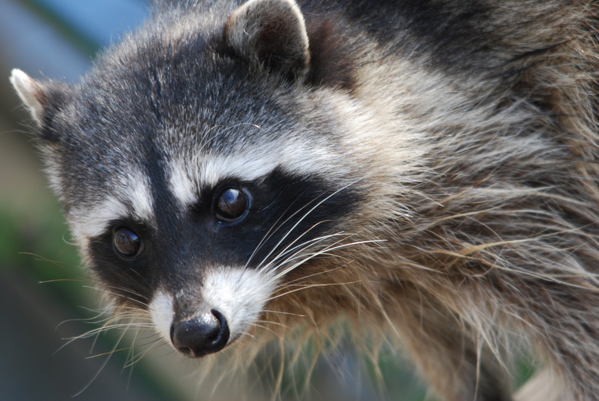 Florida is one of the few states that will issue permits and allow people to own raccoons.