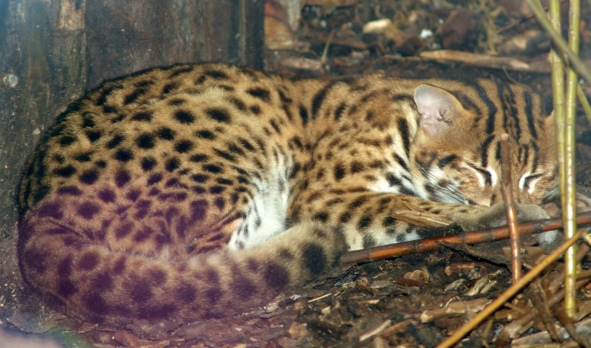 The Asian Leopard Cat is the precursor for producing the popular domesticated Bengal cat breed.