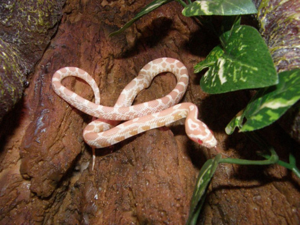This domestic snake would not survive long if released into the wild.