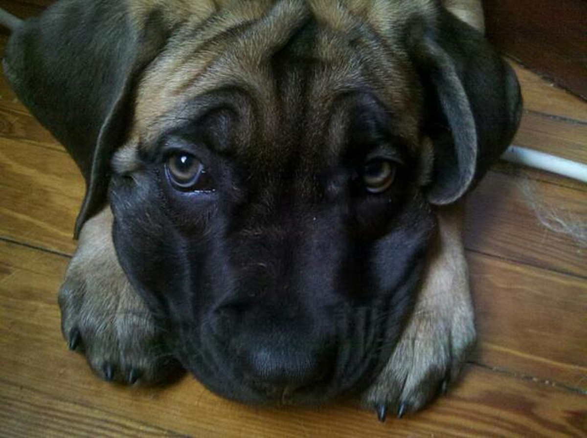English Mastiffs do not always drool a lot, despite popular belief.