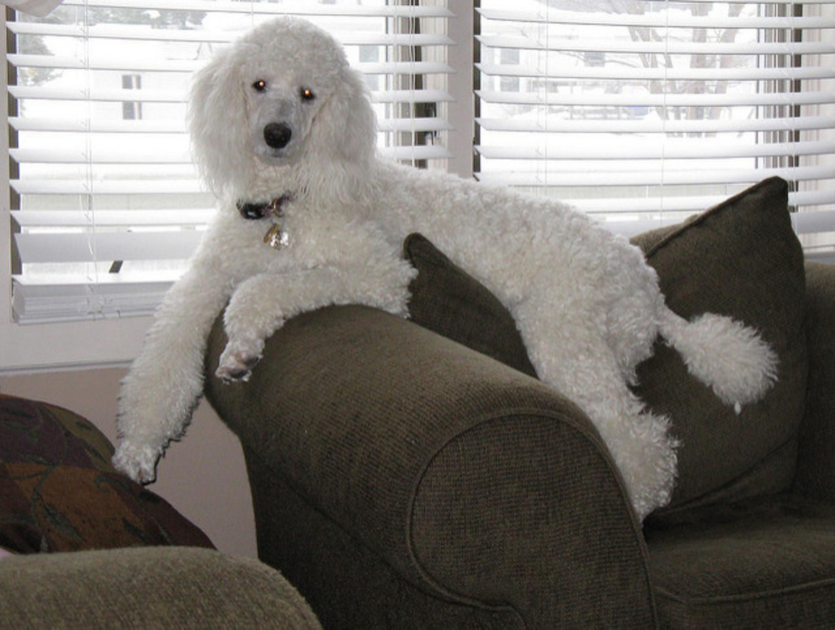 The Standard Poodle is the best non-shedding, large dog breed for an apartment.