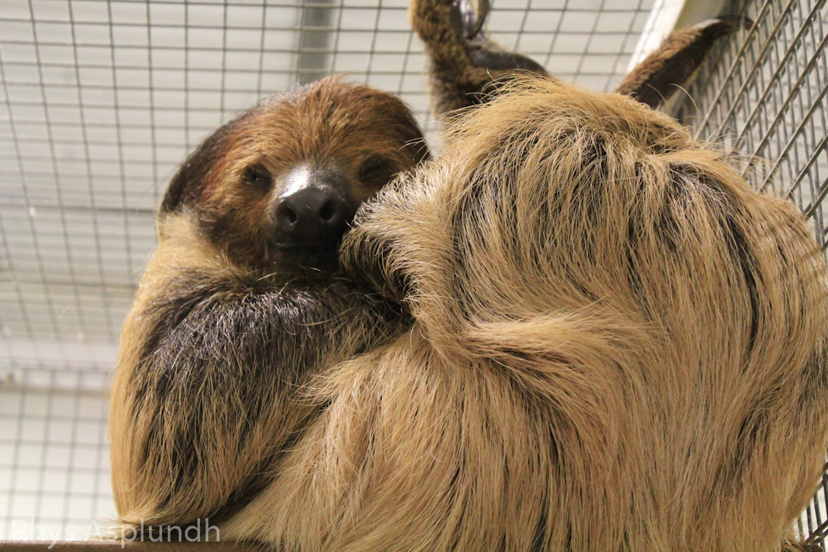 Sloths, which are receiving a lot of interest from the public as pets, are legal with the permit, although they are expensive and difficult to care for.