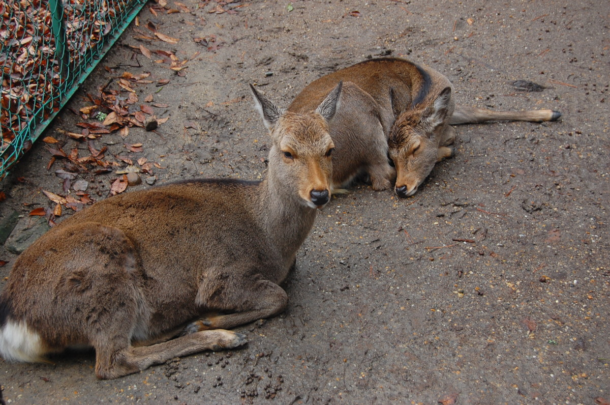 White-tailed deer, axis deer, and the smaller dog-sized muntjac deer are examples of deer that are kept as pets.