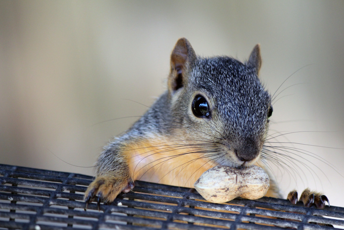 All species of squirrels, except the grey squirrel, are legal.