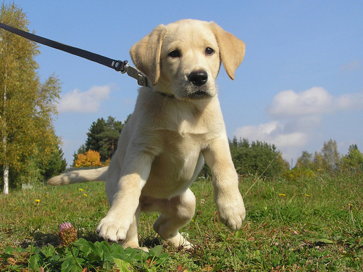 Dogs with no impulse control can also be dangerous to their owners when they become large.