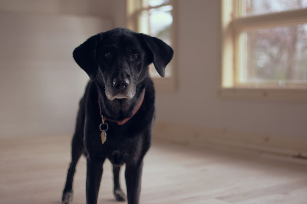 Fearful dogs may exhibit a blank stare. Desensitization may help a dog overcome fear.