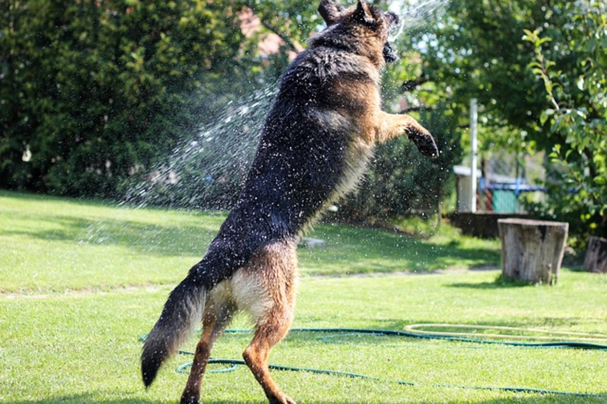German Shepherd having fun