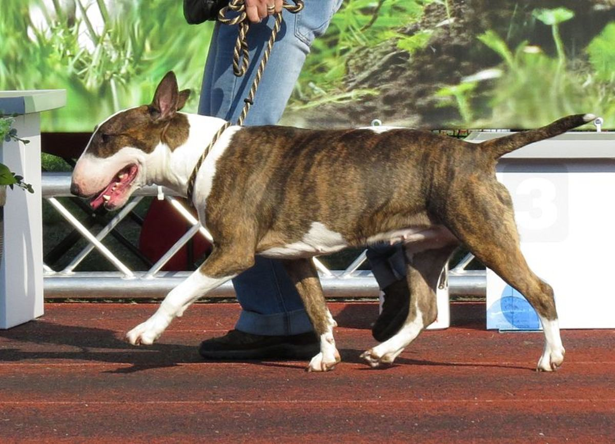A brindle and white.