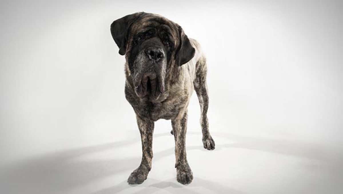 Could this Mastiff be a Merlin?