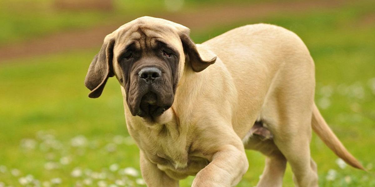 This pale-colored English Mastiff would make a perfect Godiva.