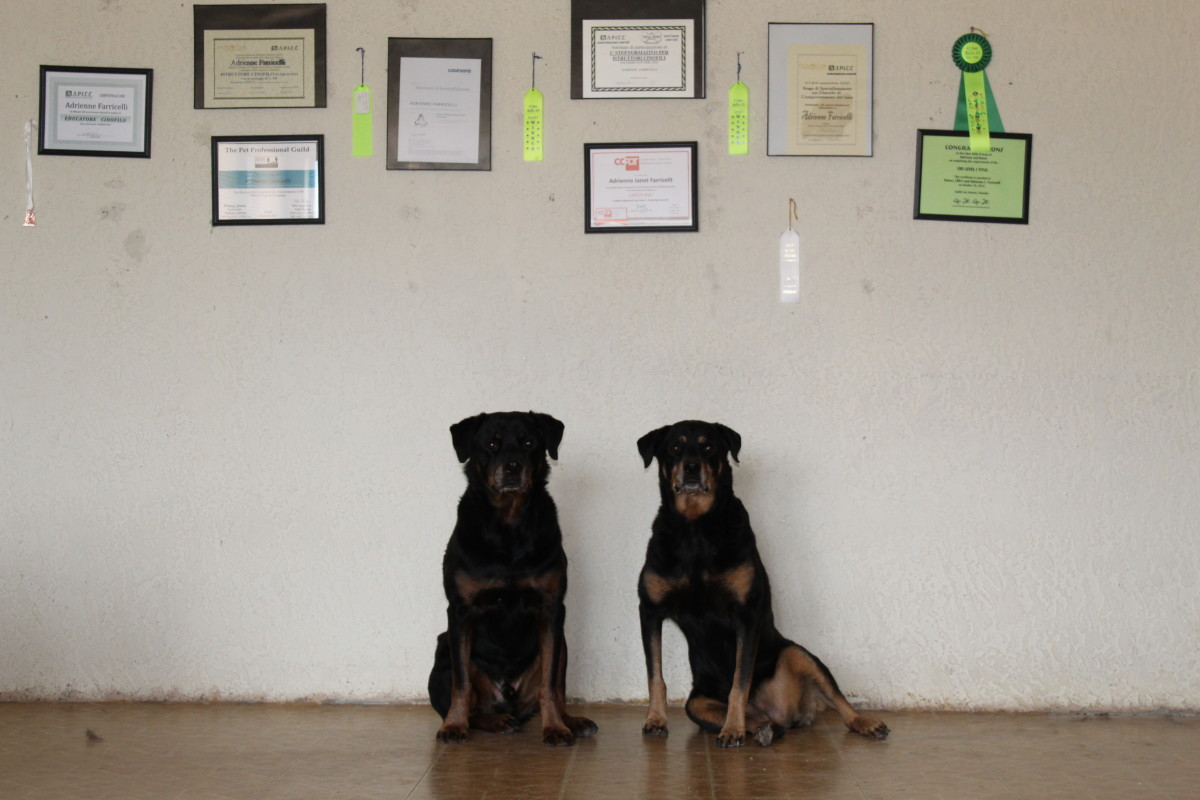 My rotties waiting for their release cue.