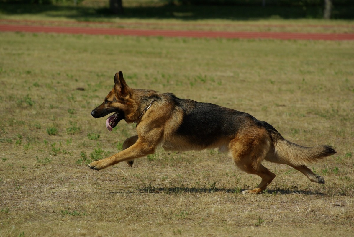 For some dogs, mild hip dysplasia can go unnoticed for years.