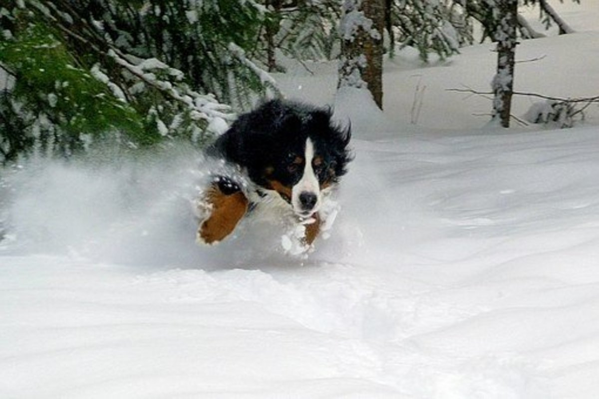 Bernese Mountain Dog dashing in the snow