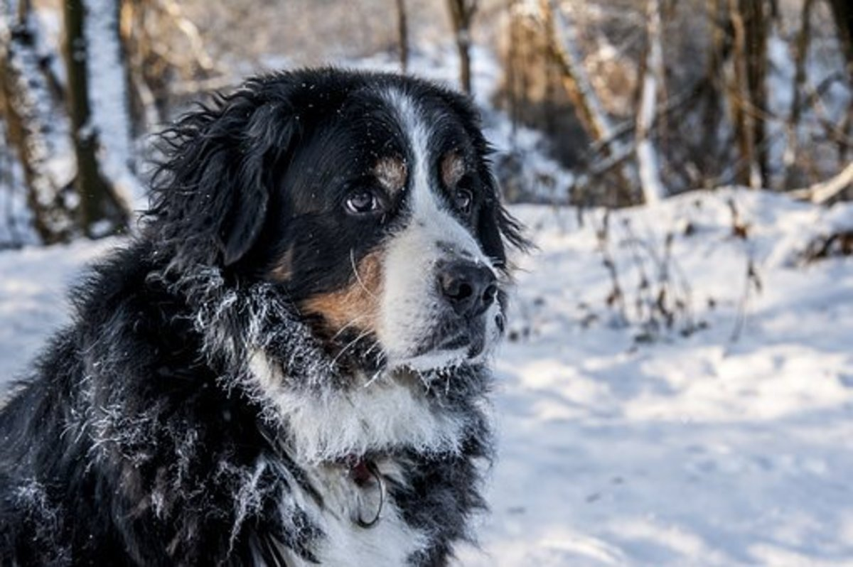 Handsome Bernese Mountain Dog in the snow