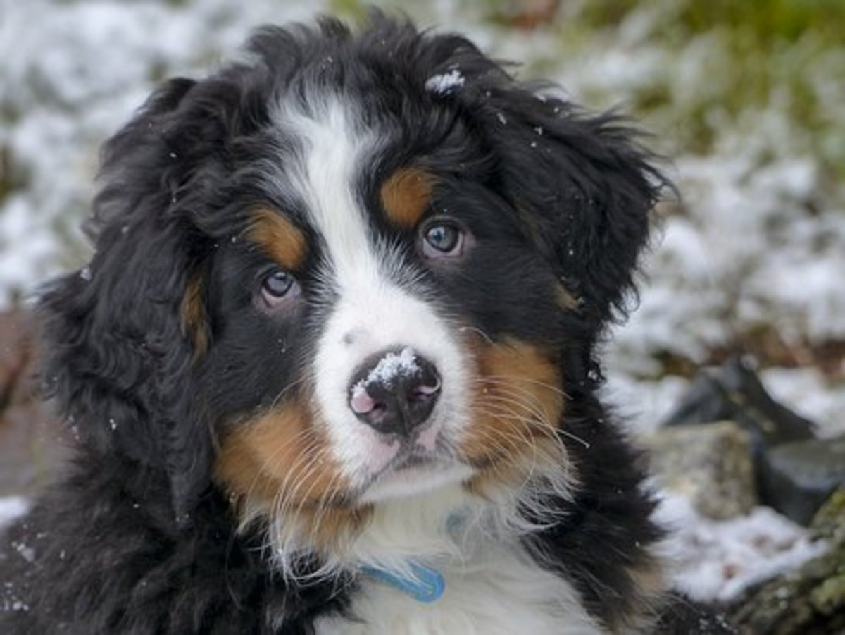 Bernese Mountain Puppy waiting for a name