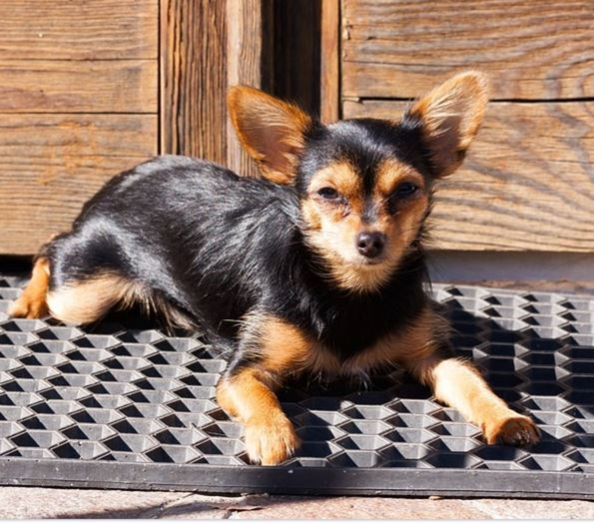 With proper conditioning, dogs become comfortable and secure on their mats.