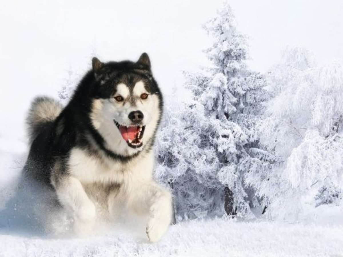 Alaskan Malamute playing in the snow.