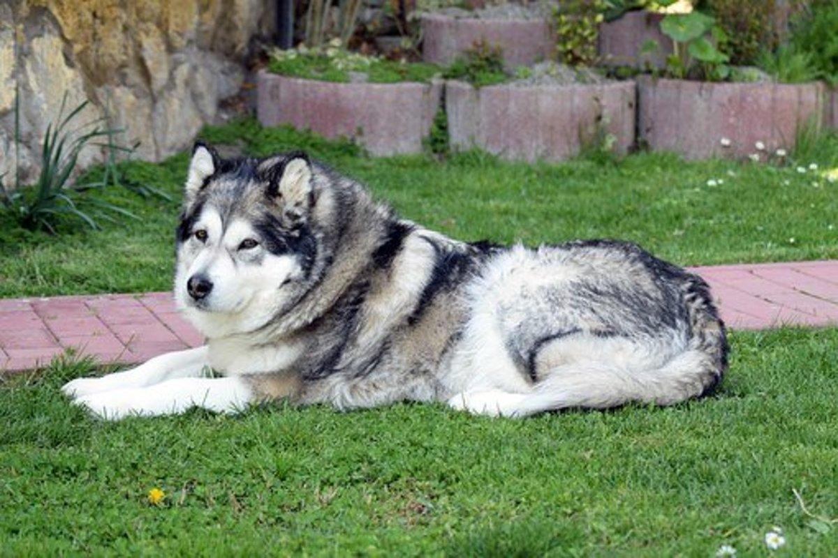Alaskan Malaumute dog