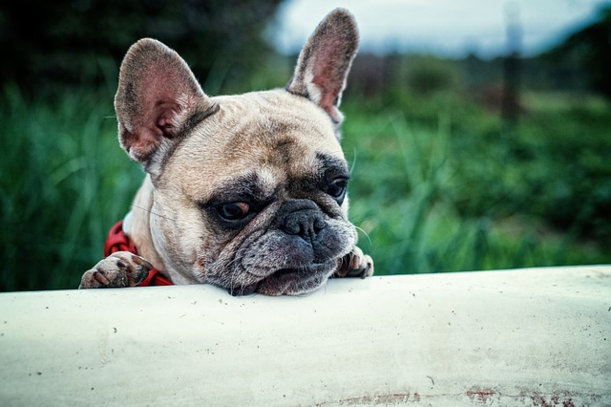 French Bulldog looking for relief