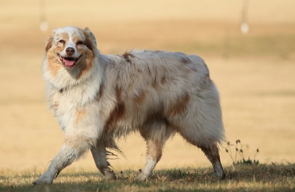 A happy Australian Shepherd