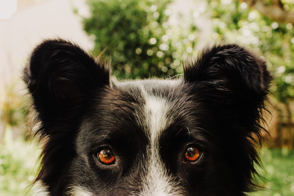 Blunt or rounded ears in a mixed-breed dog.