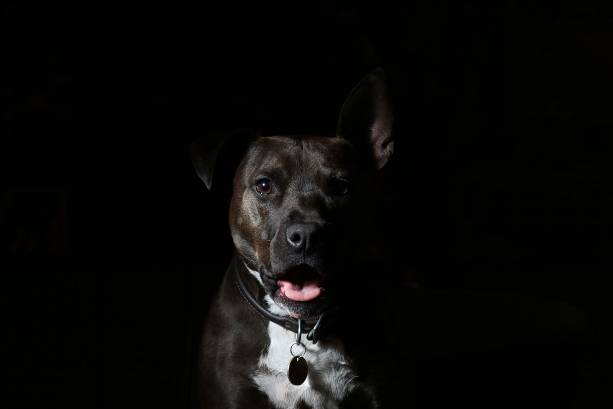 Pit bull is a type of dog, not a breed.