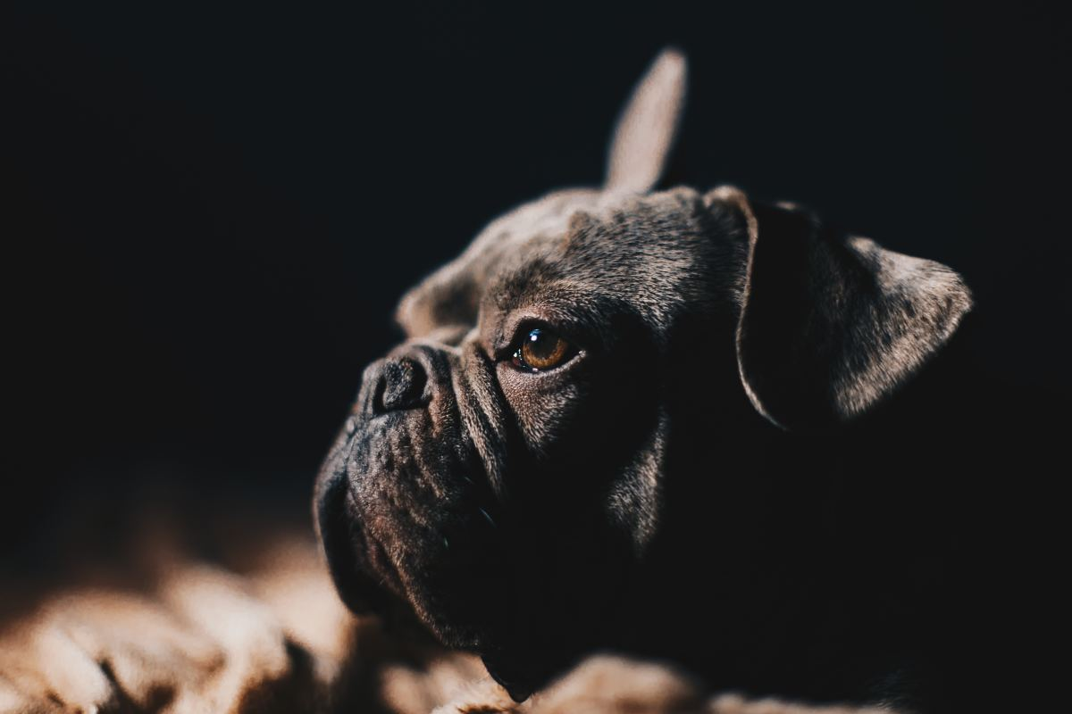 Your typical brachycephalic muzzle characterized by a flattened face, shortened nares, and often excessive skin folds.
