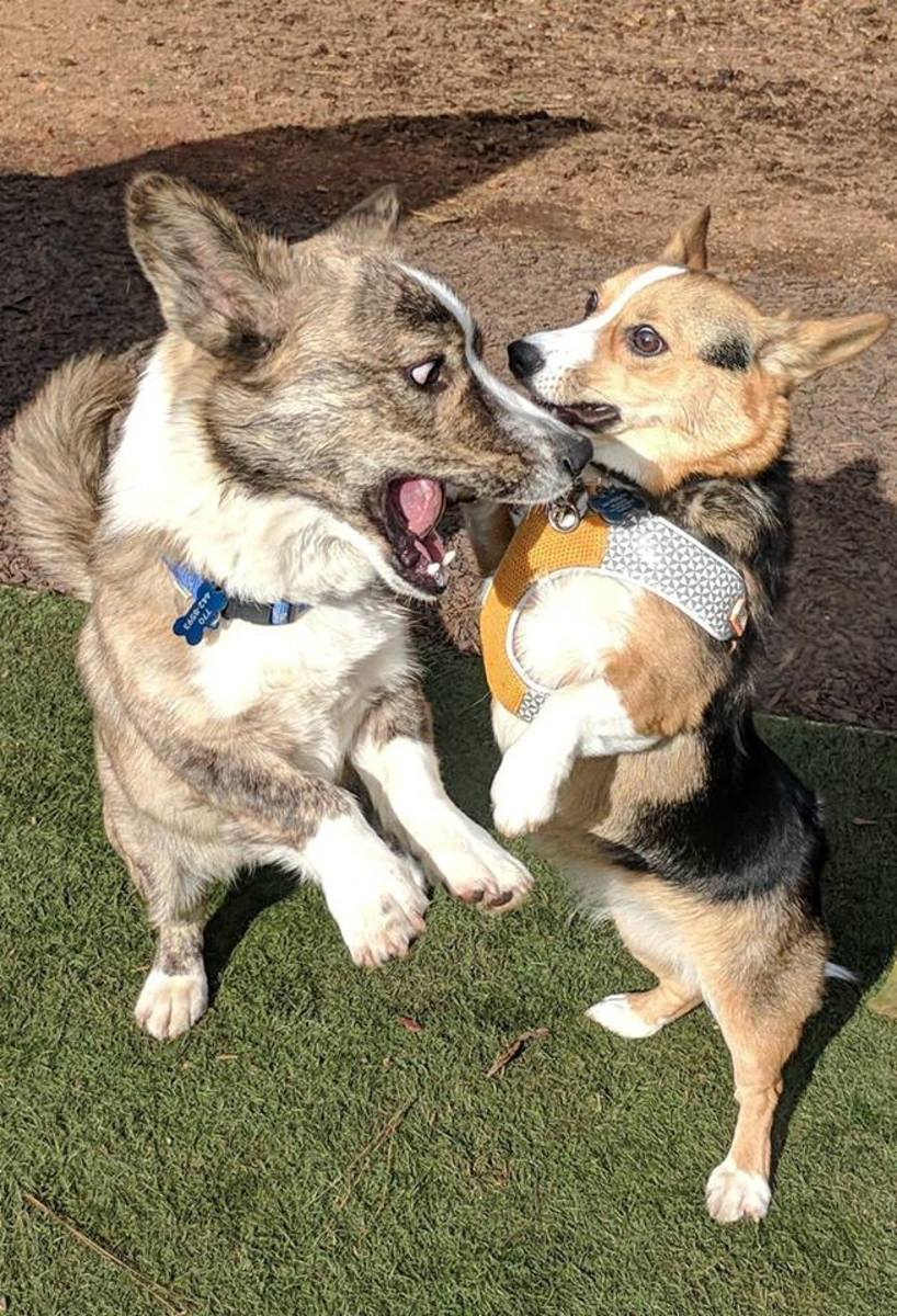 This is Parker at about a year old playing with a cardigan corgi friend at the park. you can see the differences in size and coloring very well here!