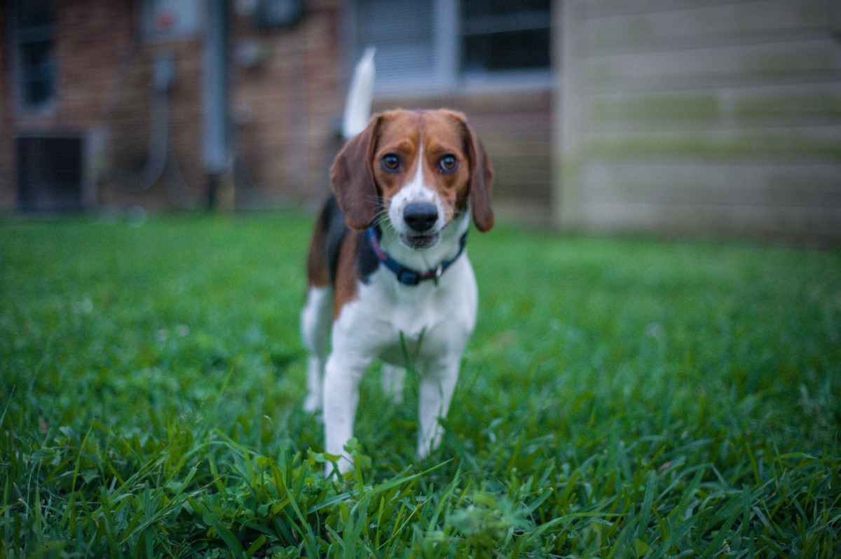 why-you-should-get-a-beagle