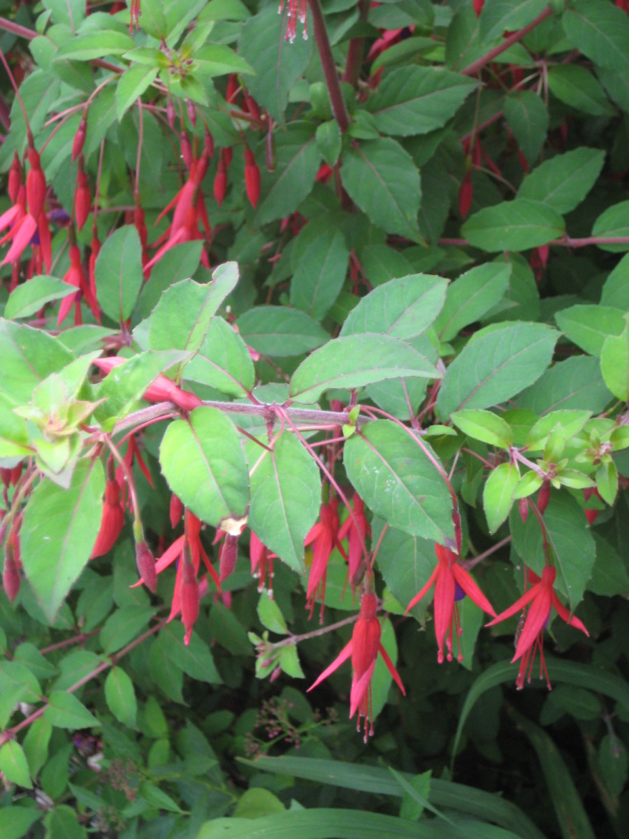 photo of a fuschia plant in flower.