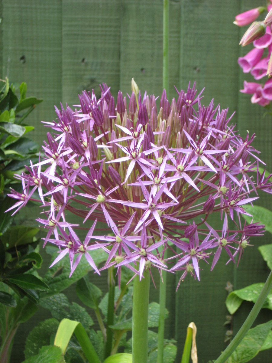 This globe-shaped allium is tall and has an attractive shape and colour.