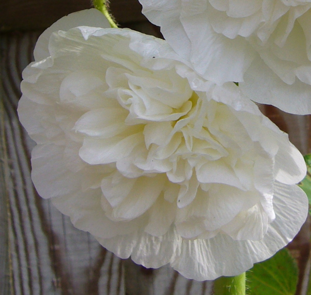 a white hollyhock flower