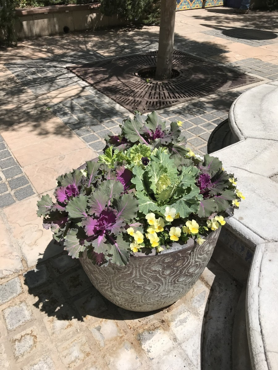 Ornamental kale is beautiful in a planter surrounded by other colorful flowers. They are a perfect plant for growing in pots to display on porches, patios, or beside entryways.