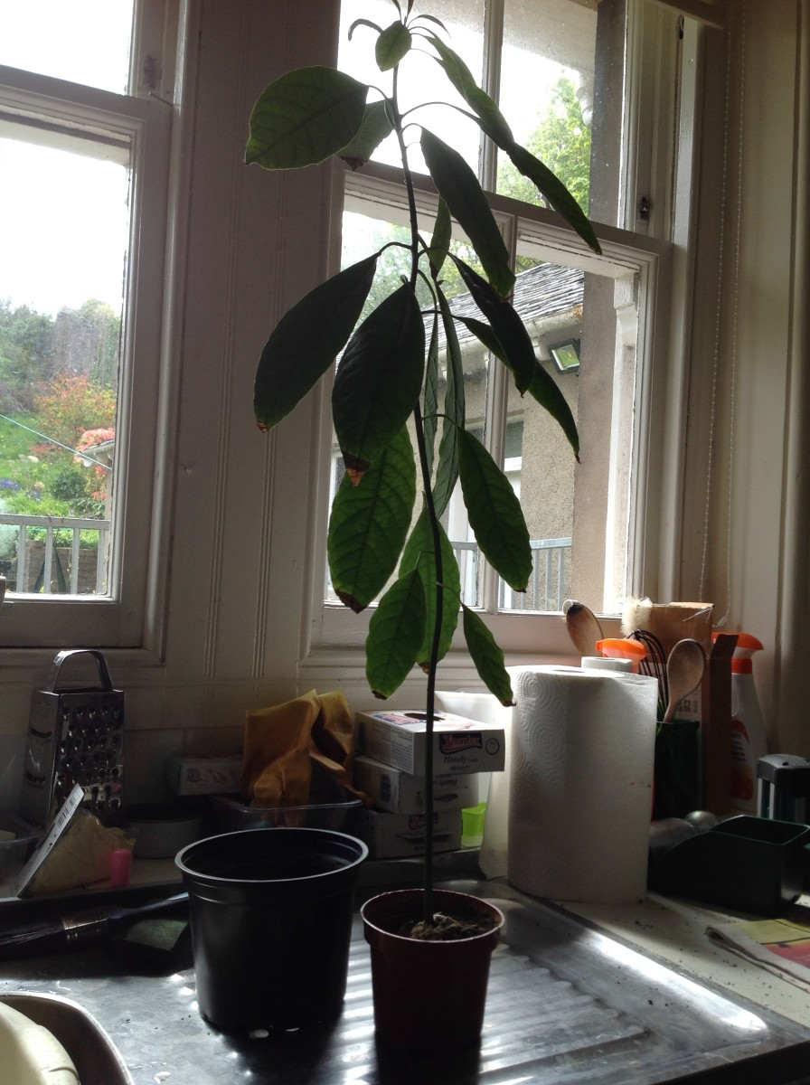 An avocado seedling waiting to be re-potted into a larger pot.